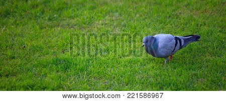 Domestic pigeon, walking in green field. Close up view with details. Blurred background, space for text, banner