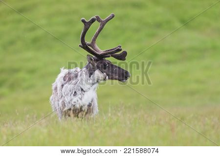 Raindeer, Rangifer tarandus, caribou male detail in summer on green grassland of Iceland. Nordic wildlife scenery. Wild animal close-up changing fur with antlers in velvet.