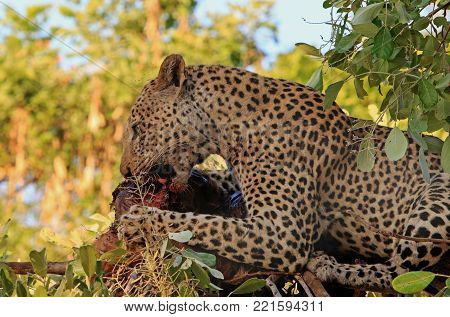 Handsome Male Leopard (Panthera Pardus), laying on a branch devouring a recent in South Luangwa National Park, Zambia