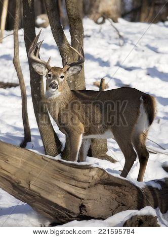White-tailed deer buck in winter.  Trees show rubs from rut behavior