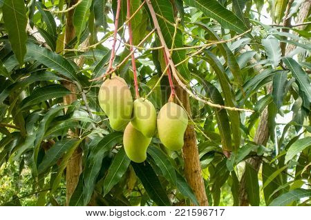 Mango tree full of fruits. Research has shown antioxidant compounds in mango fruit have been found to protect against colon, breast, leukemia and prostate cancers