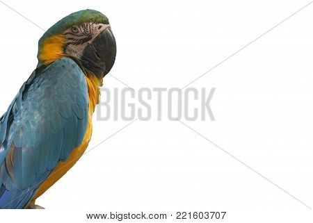 Yellow blue parrot on the white background is the best for your greeting or visit card