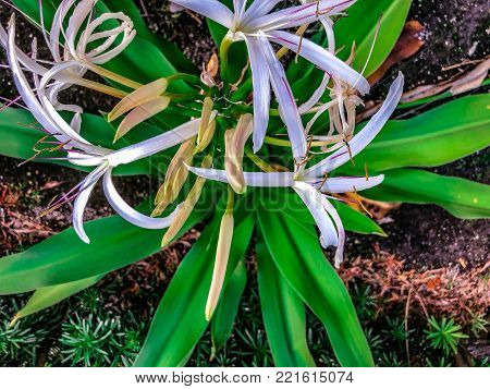 Giant White Spider Lily