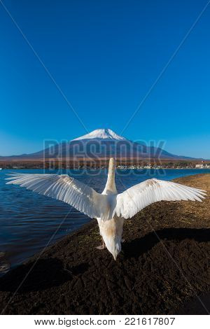 Very beautiful white swan in fluttying wings action  at Lake Yamanaka with Mt. Fuji background, famous and peaceful place