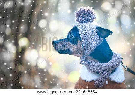 A dog, a toy terrier, a stylishly dressed little dog in a hat and a sheepskin coat, against the backdrop of winter. Clothes for dogs. Place for text