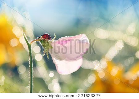 Small Red Ladybug loves the smell of flowers in the morning sun