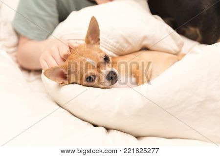 Cute, young chihuahua wrapped in a blanket on a bed with a young boy nearby.