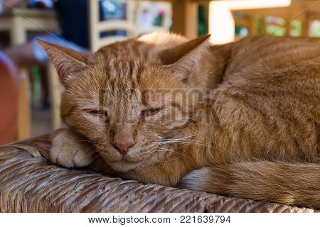 View to a beautiful sleeping Ginger Cat on a Chair. Close-up of a lovely tired Cat in the Morning. Animal and Nature Background