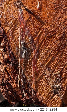 Close-up trickles of hardened resin flowed at larch transverse saw cut.