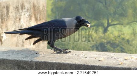 A crow eating a piece of food in beak Gray necked Ceylon colombo crow Asian sitting on wall peck