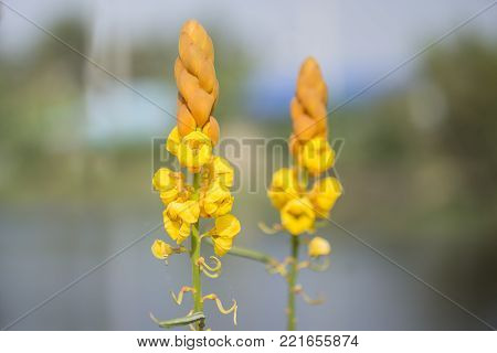 Beautiful Yellow flowers (Ringworm bush or Senna alata). The main medicical uses of this plant are a laxative or purgative and in the treatment of skin problem.
