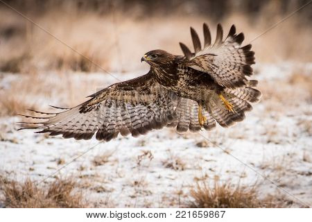 flying bird with extended wings, brown bird with a hooked beak, predator on the prowl, Europe,