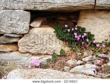Wild Cyclamen In An Ancient Wall