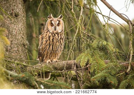 Owl in the forest. Long-eared Owl sitting on the branch in the fallen larch forest during autumn. Wildlife scene from the nature habitat. Bird on the spruce tree.