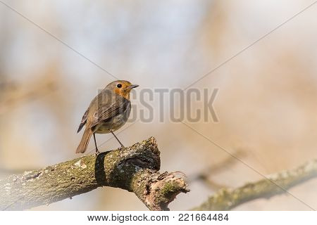 European Robin, Erithacus rubecula, sitting in the tree branch, bird in the nature habitat, spring, nesting time, Orange songbird with mirror reflection in water surface.