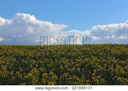 Oil Seed Rape Field