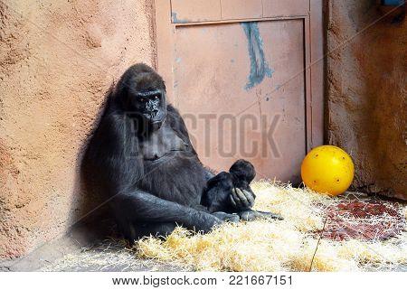 A female mountain gorilla takes care of her newborn baby.