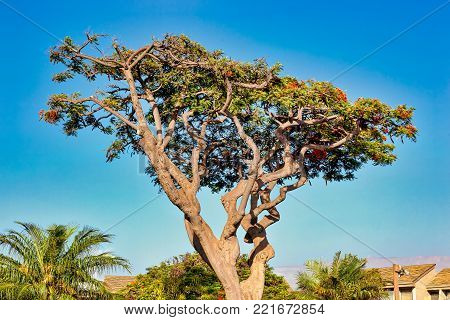 Freshly trimmed Royal Poinciana Tree in Kehei, Maui poster