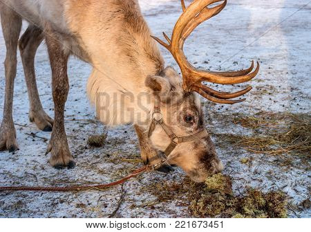 The northern deer is moss. The reindeer likes moss very much. Moss is in the snow. The reindeer is a small animal. On the head of the reindeer there are horns.