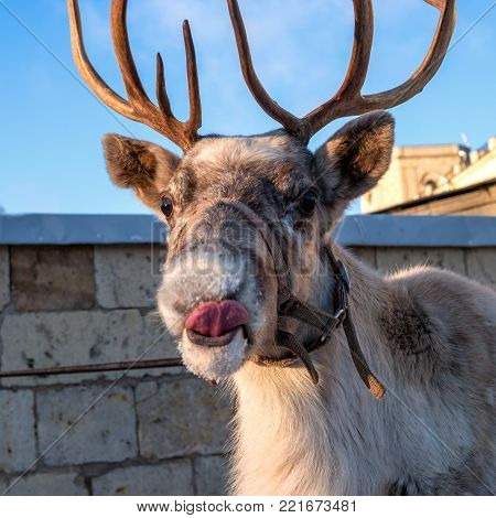 Portrait of a reindeer. The deer licks fashion. The reindeer is a small animal. On the head of the reindeer there are horns.