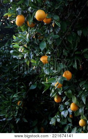 Oranges growing in an grove
