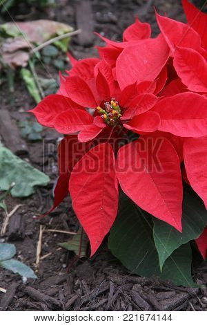 Dirty Poinsettia plant in a garden, shallow depth of field, high ISO (400), Poinsettias are members of the spurge family of plants.