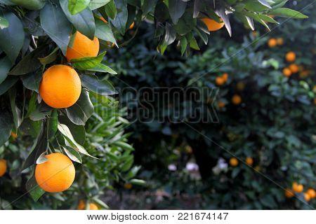 Orange tree with oranges in a grove