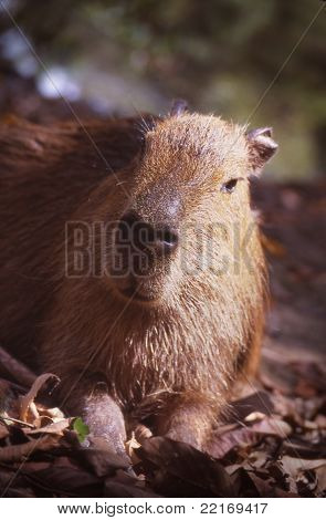 Capybara, the world's largest rodent