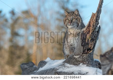 Bobcat (Lynx rufus) Looks Out From Log - captive animal