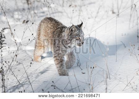 Canadian Lynx (Lynx canadensis) Walks Across Snow - captive animal