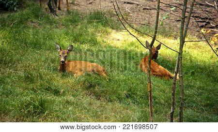 Roe Deer in the wild. Ukraine