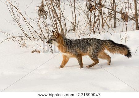 Grey Fox (Urocyon cinereoargenteus) Walks Through Snow - captive animal