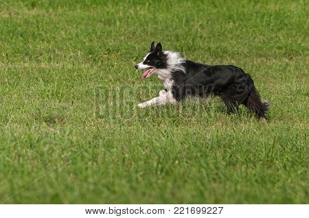 Stock Dog Happily Runs  - at sheep dog herding trials