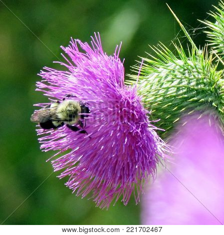 Bumblebee on lesser burdock flower in garden on a shore of the Lake Ontario in Toronto, Canada, August 15, 2013