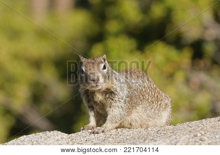 Ground squirrel in Yosemite National Park