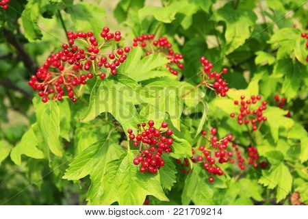 Ripe fruits of guelder-rose hang on the branches