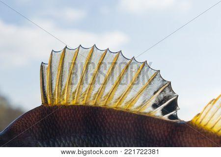 Dorsal fin of a perch, back light