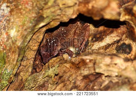 Coqui Frog hides inside a tree cavity at Guajataca Forest Reserve in Puerto Rico.