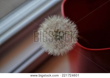 Still life dandelion/ Dandelion in the red cup
