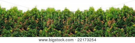 Shrub Foliage