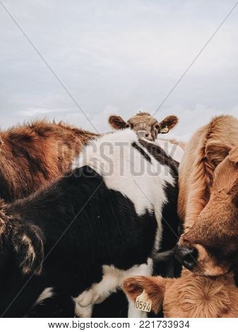a brown calf with huge ears in a herd of cows looking curious at the camera in natural environment on a field