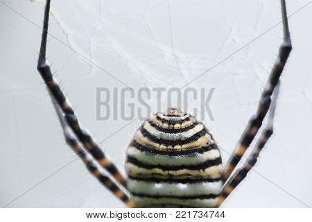 The Spider Species Argiope Aurantia.