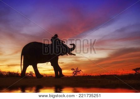 Elephant standing in a rice field with the mahout