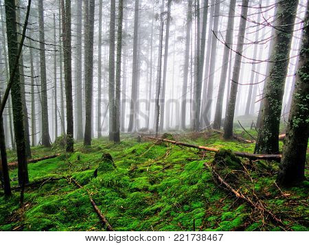 Mysterious Carpathian misty forest with a mysterious atmosphere. Enchanted summer forest in the misty morning. The wild nature. Beautiful terrain with trees, colored green leaves and gray fog.