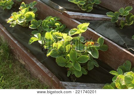 Strawberries grows up in raised garden bed. Pyramid raised garden .