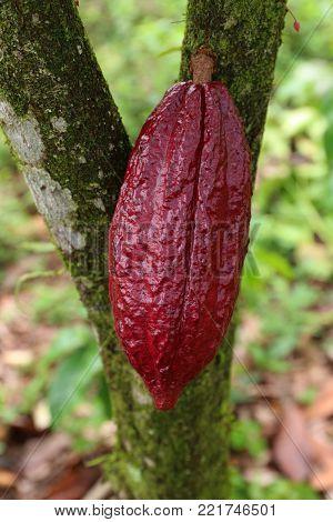Cacao Tree Theobroma cacao Organic cocoa fruit pods