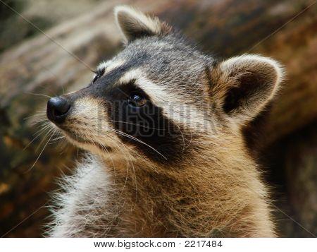 Curious Raccoon Headshot