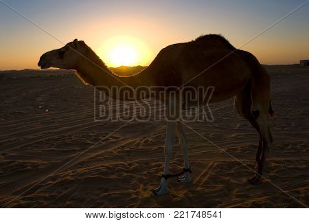 Silhouette of a dromedary in the desert during sunset