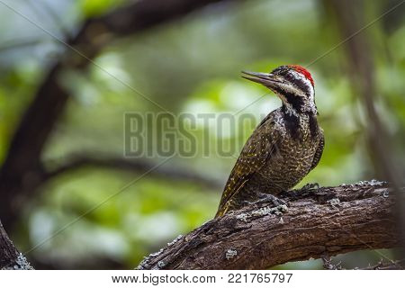 Bearded woodpecker in Kruger national park, South Africa ; Specie Chloropicus namaquus family of Picidae