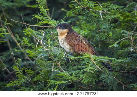 Burchell's coucal in Kruger national park, South Africa ; Specie Centropus burchellii family of Cuculidae
